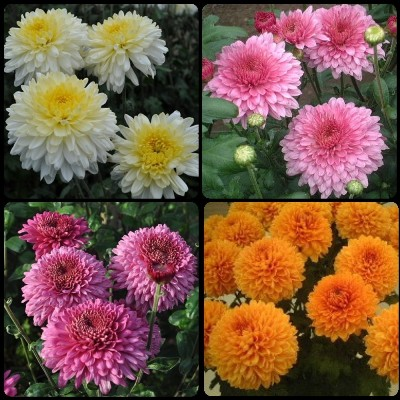 2. Chrysanthemum