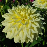 Alva's Supreme. Giant Decorative Dahlia.