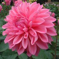 Bargaly Blush. Medium Decorative Dahlia.