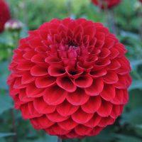 Carstone Ruby Dual Small/Minature Decorative Dahlia