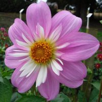 Pink Pat and Perc. Collerette Dahlia
